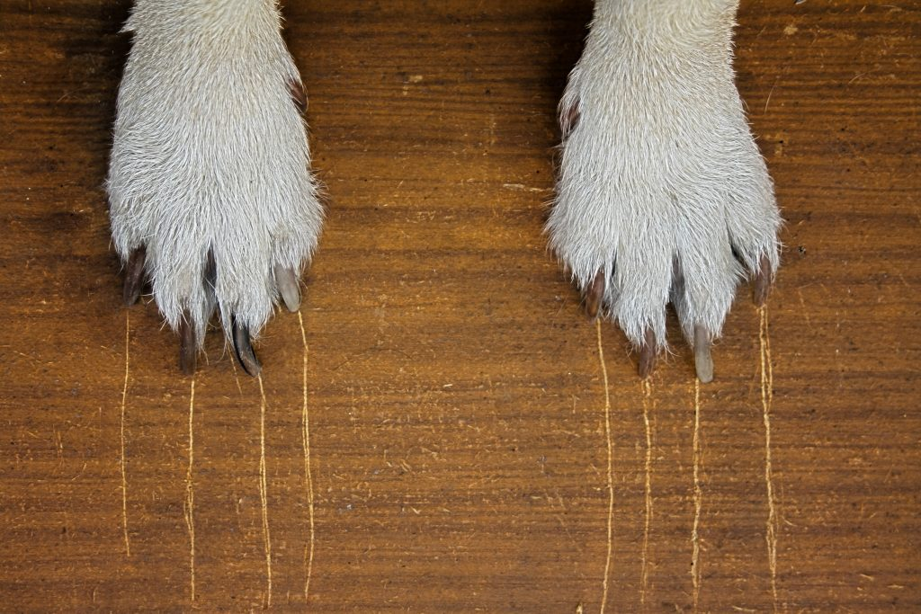 Dog paws with nail scratch marks on hardwood floor