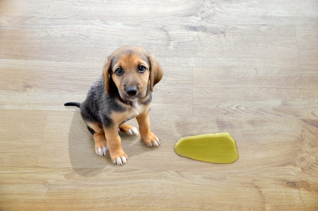 Puppy sitting next to urine puddle on hardwood floor