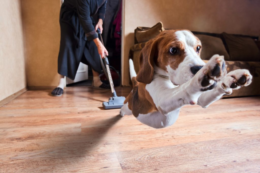 Dog running from a man vacuuming pet hair on a laminate floor